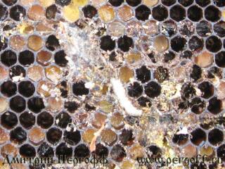 Способ получения биологически активного продукта из личинок большой восковой моли