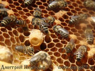 Маточник с пчелами