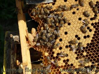 Пчелы, маточник, печатный расплод