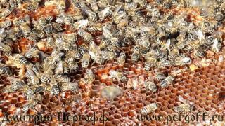 пчелы на перге