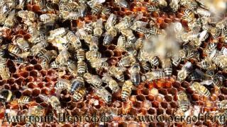 пчелы на соте с пергой