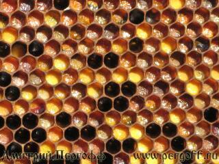Как выглядит перга пчелиная