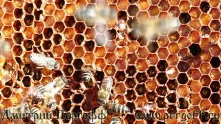 перга с пчелами