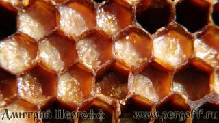 перга пчелиная макро фото