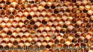 как выглядит перга пчелиная фото