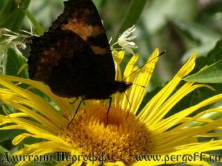 бабочка крапивница на девясиле