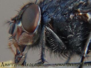 голова мухи макро фото