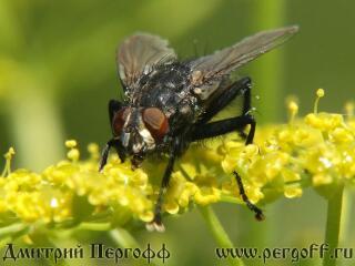 муха пьет нектар