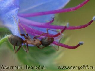 муравей на синяке
