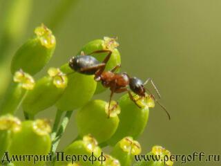 муравей пьет нектар