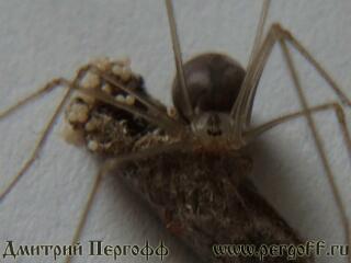 паук с личинкой восковой моли