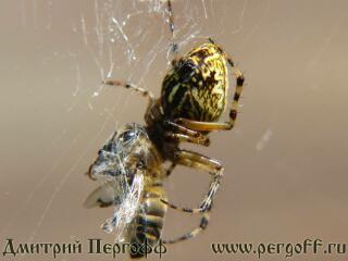 паук ест пчелу