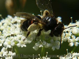 Черная пчела с пыльцой