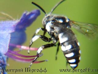 Черно-белая пчела
