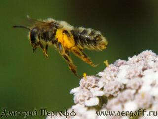 Дикая пчела в полете