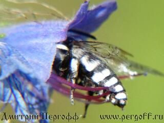 Черно-белая пчела или оса
