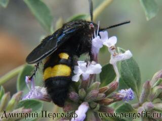 Горная пчела берет нектар с чабреца.