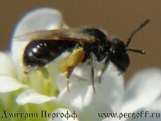 Малюсенькая дикая пчелка