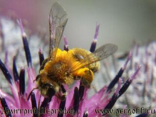 Земляная пчела берет нектар с лопуха