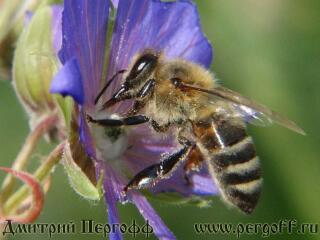 Пчелы на цветах макро