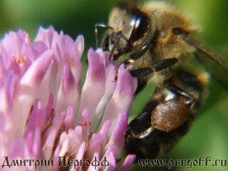 Пчела с пыльцой на клевере2