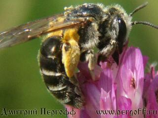 Пчела с пыльцой на клевере3