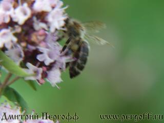 Пчела с пыльцой на душице