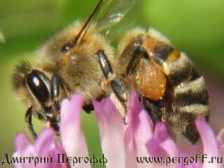 Пчелы с пыльцой макро