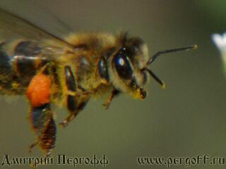 Земляная пчела в полете
