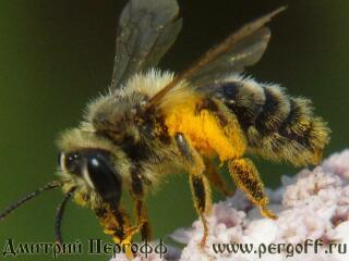Земляная пчелка на тысячелистнике