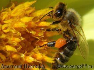Пчела с пыльцой на домашнем цветке