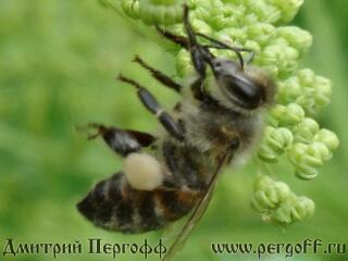 Пчела с пыльцой на дягиле