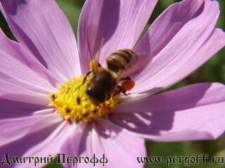 Пчела с пыльцой на клумбе