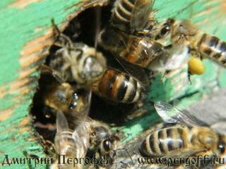 Пчела несет пыльцу в улей