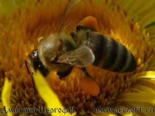 Пчела с пыльцой на девясиле