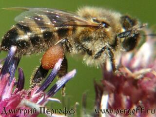 Пчела с пыльцой на лопухе