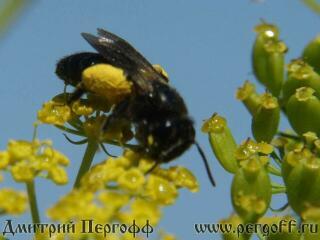 Дикая пчела с пыльцой