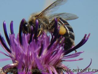 Пчела с пыльцой на осоте