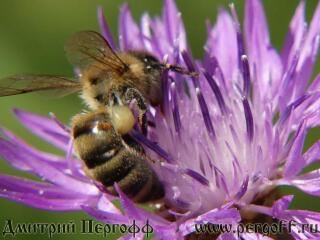 Пчела с пыльцой на васмльке