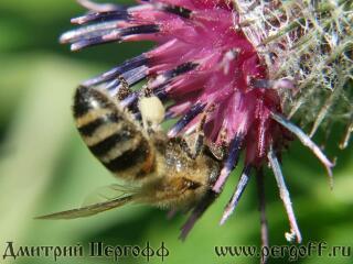 Пчела с пыльцой на репейнике