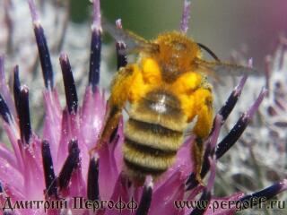 Земляная пчела на лопухе